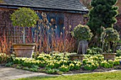 JOHN MASSEY GARDEN, ASHWOOD NURSERIES, WORCESTERSHIRE: BORDER WITH DAFFODILS - NARCISSUS TRENA, AGM, SPRING, MARCH, TERRACOTTA CONTAINERS, VIBURNUMS, CORNUS, YELLOW, FLOWERS
