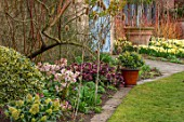 JOHN MASSEY GARDEN, ASHWOOD NURSERIES, WORCESTERSHIRE: LAWN, BORDER WITH HELLEBORES, CONTAINER WITH SKIMMIA KEW GREEN. SPRING, BORDERS, NARCISSUS TRENA, MARCH