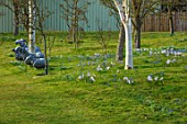 JOHN MASSEY GARDEN, ASHWOOD NURSERIES, WORCESTERSHIRE: MEADOW WITH BETULA, METAL SHEEP SCULPTURES BY CHRISTY BOWDLER, SCILLA SIBERICA, CHIONODOXA PINK GIANT, BULBS, MEADOWS