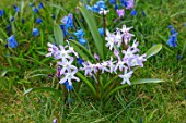 JOHN MASSEY GARDEN, ASHWOOD NURSERIES, WORCESTERSHIRE: MEADOW WITH SCILLA SIBERICA, CHIONODOXA FORBESII PINK GIANT, BULBS, MEADOWS, NATURALISED