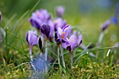 JOHN MASSEY GARDEN, ASHWOOD NURSERIES, WORCESTERSHIRE: MEADOW WITH CROCUS SIEBERI SPRING BEAUTY, BULBS, MEADOWS, NATURALISED, FLOWERS, FLOWERING, PURPLE, MARCH