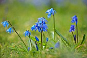 JOHN MASSEY GARDEN, ASHWOOD NURSERIES, WORCESTERSHIRE: MEADOW WITH SCILLA SIBERICA, BULBS, MEADOWS, NATURALISED, BLUE, FLOWERS, FLOWERING, MARCH