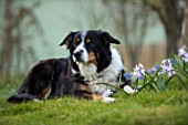 JOHN MASSEY GARDEN, ASHWOOD NURSERIES, WORCESTERSHIRE: PET DOG IN MEADOW WITH CHIONODOXA PINK GIANT. BULBS, MEADOWS, NATURALISED, PINK, FLOWERS, FLOWERING, MARCH