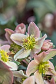 JOHN MASSEY GARDEN, ASHWOOD NURSERIES, WORCESTERSHIRE: PLANT PORTRAIT OF HELLEBORE - HELLEBORUS PIROUETTE. PINK, GREEN, FLOWERS, FLOWERING, PERENNIALS