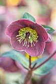 JOHN MASSEY GARDEN, ASHWOOD NURSERIES, WORCESTERSHIRE: PLANT PORTRAIT OF HELLEBORE - HELLEBORUS RODNEY DAVEY MARBLED GROUP PIPPAS PURPLE. PINK, FLOWERS, FLOWERING, PERENNIALS