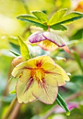 JOHN MASSEY GARDEN, ASHWOOD NURSERIES, WORCESTERSHIRE: PLANT PORTRAIT OF HELLEBORE - HELLEBORUS AHWOOD GARDEN HYBRIDS. FLOWERS, FLOWERING, PERENNIALS, YELLOW. PINK