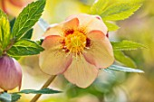 JOHN MASSEY GARDEN, ASHWOOD NURSERIES, WORCESTERSHIRE: HELLEBORUS X HYBRIDUS ASHWOOD EVOLUTION GROUP SUNRISE SHADES SPOTTED. PERENNIALS, HELLEBORES