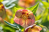 JOHN MASSEY GARDEN, ASHWOOD NURSERIES, WORCESTERSHIRE: HELLEBORUS X HYBRIDUS ASHWOOD EVOLUTION GROUP RED NEON. PERENNIALS, HELLEBORES