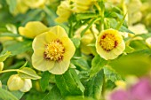 JOHN MASSEY GARDEN, ASHWOOD NURSERIES, WORCESTERSHIRE: YELLOW FLOWERS OF HELLEBORUS X HYBRIDUS ASHWOOD GARDEN HYBRIDS, ANEMONE CENTRED. PERENNIALS, HELLEBORES