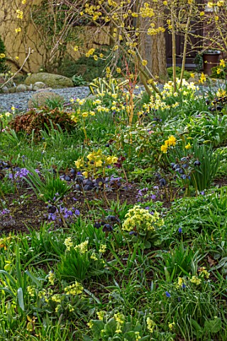 JOHN_MASSEY_GARDEN_ASHWOOD_NURSERIES_WORCESTERSHIRE_WOODLAND_BORDER_WITH_HELLEBORES_PRIMULAS_DAFFODI