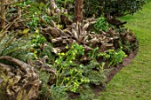 JOHN MASSEY GARDEN, ASHWOOD NURSERIES, WORCESTERSHIRE: BORDER WITH STUMPERY - TREE STUMPS, HELLEBORES, HELLEBORUS ABRUZZICUS. GREEN, FLOWERS, FLOWERING, MARCH, SPRING