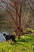 JOHN MASSEY GARDEN, ASHWOOD NURSERIES, WORCESTERSHIRE: DOG, PRUNUS SERRULA, DAFFODILS BESIDE THE CANAL. SPRING, MARCH, WATER, CHERRY