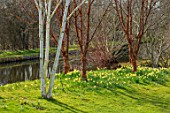 JOHN MASSEY GARDEN, ASHWOOD NURSERIES, WORCESTERSHIRE: PRUNUS SERRULA, BETULA, DAFFODILS BESIDE THE CANAL. SPRING, MARCH, WATER