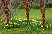 JOHN MASSEY GARDEN, ASHWOOD NURSERIES, WORCESTERSHIRE: PRUNUS SERRULA AND DAFFODILS. SPRING, MARCH