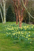 JOHN MASSEY GARDEN, ASHWOOD NURSERIES, WORCESTERSHIRE: PRUNUS SERRULA, BIRCH, BETULA  AND DAFFODILS. SPRING, MARCH