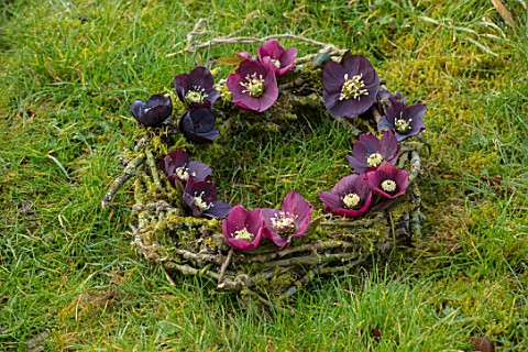 OLD_COUNTRY_FARM_WORCESTERSHIRE_HELEBORE_WREATH_MADE_WITH_DARK_RED_PLUM_BLACK_HELEN_BALLARD_HELLEBOR
