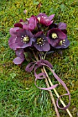 OLD COUNTRY FARM, WORCESTERSHIRE: HELLEBORE POSY WITH DARK RED, PLUM, BLACK HELEN BALLARD HELLEBORES - HELLEBORUS X HYBRIDUS, DISPLAYS, ARRANGEMENTS, RIBBON