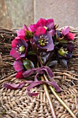 OLD COUNTRY FARM, WORCESTERSHIRE: BASKET WITH HELLEBORE POSY WITH DARK RED, PLUM, BLACK HELEN BALLARD HELLEBORES - HELLEBORUS X HYBRIDUS, DISPLAYS, ARRANGEMENTS, RIBBON