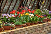 CAMBRIDGE UNIVERSITY BOTANICAL GARDEN: THE NATIONAL COLLECTION OF SPECIES TULIP IN THE ALPINE HOUSE. FLOWERS, SPRING, BULBS, GLASSHOUSE