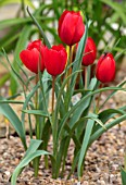 CAMBRIDGE UNIVERSITY BOTANICAL GARDEN: TERRACOTTA CONTAINER WITH SPECIES TULIP - TULIPA MONTANA. FLOWERS, SPRING, BULBS, RED, FLOWERING