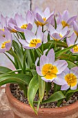 CAMBRIDGE UNIVERSITY BOTANICAL GARDEN: TERRACOTTA CONTAINER OF SPECIES TULIP - TULIPA SAXATALIS ( BAKERI GROUP ) LILAC WONDER. FLOWERS, SPRING, PINK, YELLOW, FLOWERING