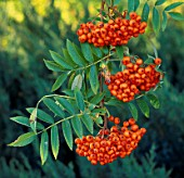 RED BERRIES OF THE MOUNTAIN ASH OR ROWAN (SORBUS AUCUPARIA)