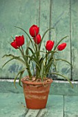 CAMBRIDGE UNIVERSITY BOTANICAL GARDEN: TERRACOTTA CONTAINER WITH SPECIES TULIP - TULIPA MONTANA. RED, FLOWERS, SPRING, BULBS, PETALS