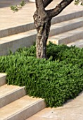 PORTO HELI, GREECE, DESIGNER THOMAS DOXIADIS: VILLA GARDEN. OLIVE TREE GROWING OUT OF STEPS WITH ROSEMARY. GREEK, LANDSCAPE, VILLAS