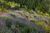 PORTO HELI, GREECE, DESIGNER THOMAS DOXIADIS: VILLA GARDENS. MASSED PLANTING OF LAVENDER AND PHLOMIS. LANDSCAPE. MEDITERRANEAN, WILD, DRY, GREEK, OLIVES, OLIVE TREES