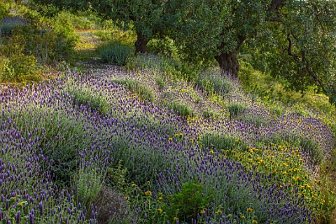PORTO_HELI_GREECE_DESIGNER_THOMAS_DOXIADIS_VILLA_GARDENS_MASSED_PLANTING_OF_LAVENDER_AND_PHLOMIS_LAN