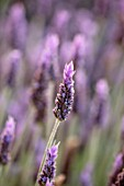 PORTO HELI, GREECE, DESIGNER THOMAS DOXIADIS: CLOSE UP OF LAVENDER FLOWER. PURPLE, BLUE, BLOOM, BLOOMS, SCENT, SCENTED, FRAGRANT