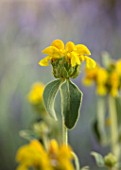 PORTO HELI, GREECE, DESIGNER THOMAS DOXIADIS: CLOSE UP PLANT PORTRAIT OF YELLOW FLOWER OF PHLOMIS FRUTICOSA. JERUSALEM SAGE, PERENNIALS, BLOOMS, FLOWERS