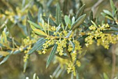 PORTO HELI, GREECE, DESIGNER THOMAS DOXIADIS: CLOSE UP PLANT PORTRAIT OF OLIVE FLOWERS, TREES, SHRUBS, MEDITERRANEAN, YELLOW, FLOWERING