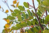 PORTO HELI, GREECE, DESIGNER THOMAS DOXIADIS: CLOSE UP PLANT PORTRAIT OF CAROB LEAVES ON TREE - CERATONIA SILIQUA. GREEN