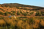 ANTIPAROS, GREECE, DESIGNER THOMAS DOXIADIS:GRASSES, ROCK AND OLIVE GROVE, GREEK, LANDSCAPE. HYPARRHENIA HIRTA