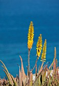 ANTIPAROS, GREECE, DESIGNER THOMAS DOXIADIS: PLANT PORTRAIT OF YELLOW FLOWERS OF ALOE ARBORESCENS, SUCCULENTS, FLOWERING, SPRING, MEDITERRANEAN