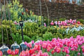 THE OLD PARSONAGE, LITTLE BREDY,DORSET: THE POTAGER WITH TULIPA PINK IMPRESSION, CHERRY DELIGHT & HELMAR.CUTTING GARDEN,GLASS CLOCHES,SPRING,WILLOW HURDLES,LOW BOX HEDGING.