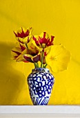THE OLD PARSONAGE, DORSET: BLUE AND WHITE VASE WITH STRIPED TULIPA HELMAR AND STRONG GOLD AGAINST BRIGHT YELLOW BACKGROUND. INTERIOR, DESIGN, HOME, FLORAL, ARRANGEMENT.