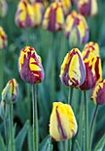 THE OLD PARSONAGE, DORSET: DEEP RED AND YELLOW STRIPED TULIPA HELMAR. CLOSE UP, PLANT PORTRAIT, COLOURFUL, SPRING, FLOWER, BULB, BORDER
