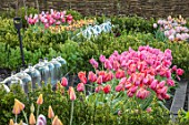 THE OLD PARSONAGE, DORSET: TULIPS (FORE) BLUSHING LADY, SALMON IMPRESSION, PINK IMPRESSION AND OLLIOULES WITH CLOCHES. PINK, APRICOT, FLOWERS, SPRING,BULB, BORDER, TULIPA.