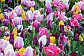 THE OLD PARSONAGE, DORSET:DOLLY MIXTURE PICKING BORDER WITH COLOURFUL TULIPS PINK IMPRESSION, CHERRY DELIGHT, BLACK HERO, REMS FAVOURITE, BROWN SUGAR.FLOWER, BULB, SPRING