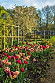 PARHAM HOUSE AND GARDENS, SUSSEX: BORDER WITH TULIPS - LA BELLE EPOQUE, BLACK HERO AND RED ANTRACIET. BULBS, FLOWERS, BLOOMS, SPRING