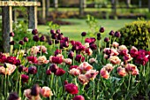 PARHAM HOUSE AND GARDENS, SUSSEX: BORDER WITH TULIPS - LA BELLE EPOQUE, BLACK HERO AND RED ANTRACIET. BULBS, FLOWERS, BLOOMS, SPRING, CUTTING, GARDEN