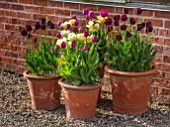 MORTON HALL, WORCESTERSHIRE: THE KITCHEN GARDEN. TERRACOTTA CONTAINERS, PLANTERS PLANTED WITH TULIPS - TULIPA PAUL SCHERER, NEGRITA, VERONA , SPRING, BULBS