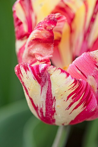BAYNTUN_FLOWERS_CLOSE_UP_PLANT_PORTRAIT_OF_TULIP__TULIPA_SASKIA_RED_WHITE_YELLOW_STRIPED_FEATHERED_P