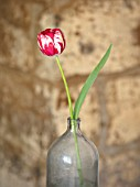 BAYNTUN FLOWERS: CLOSE UP PLANT PORTRAIT OF HERITAGE, BROKEN TULIP - TULIPA MABEL. 1915, RED, WHITE, FLOWERS, FLOWERING, BULBS, FLAMED, REMBRANDT, GLASS BOTTLE