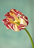 BAYNTUN FLOWERS: CLOSE UP PLANT PORTRAIT OF TULIP - TULIPA SASKIA, RED, WHITE, YELLOW, STRIPED, FEATHERED, PETALS, FLOWERS