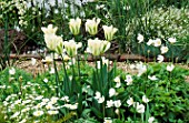 BORDER WITH ANTHEMIS CUPANIANA  TULIP SPRING GREEN  ANEMONE SYLVESTRIS  WHITE MYOSOTIS. SOUTHVIEW NURSERIES  HANTS