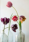 BAYNTUN FLOWERS: HERITAGE TULIPS IN GLASS BOTTLES- TULIPS COLUMBINE, REMBRANDT, MABEL, OLD TIMES, LE MOGEL