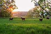 MORTON HALL, WORCESTERSHIRE: THE MEADOW AT SUNSET LOOKING WEST. SHEEP, ANIMALS